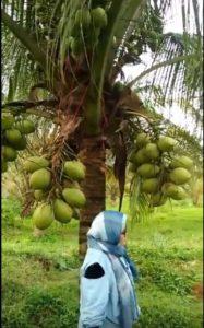Jual bibit pohon kelapa kopyor kultur jaringan